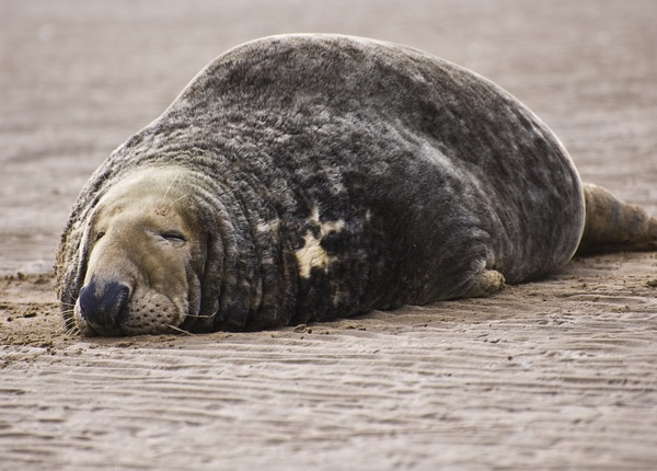 Tired Little Seal by Brooktech