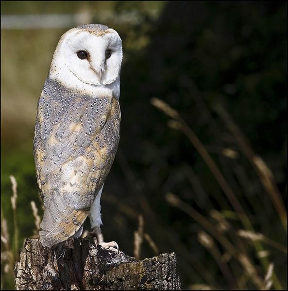 Barn Owl by samoyed