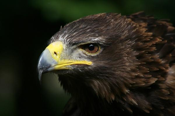 Eagle by Geofferz