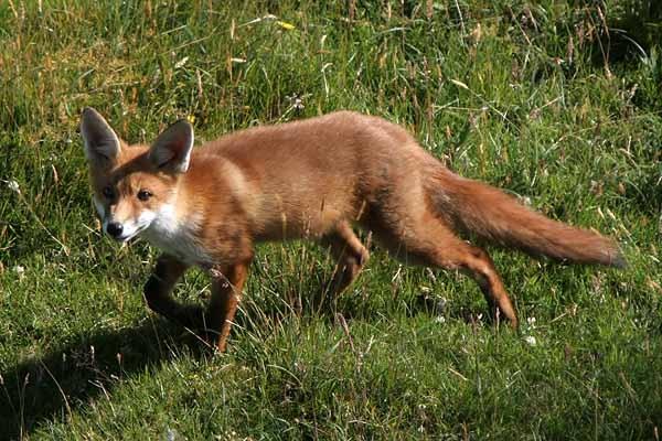 Beautiful Fox by amwaluk