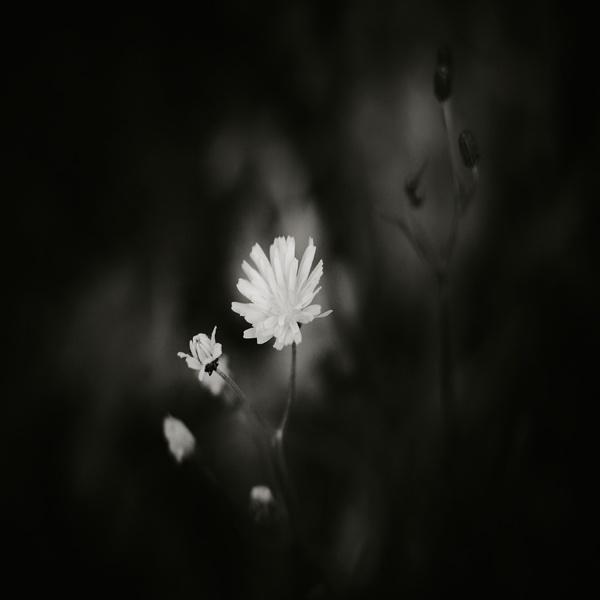dandelion by steve allsopp