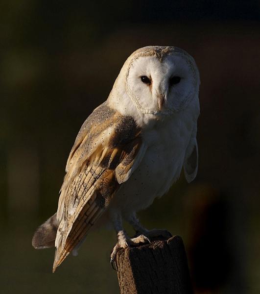 Evening Barn Owl by strawman