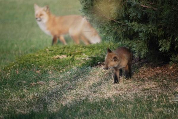 Fox Cub escaping by StuartDavie