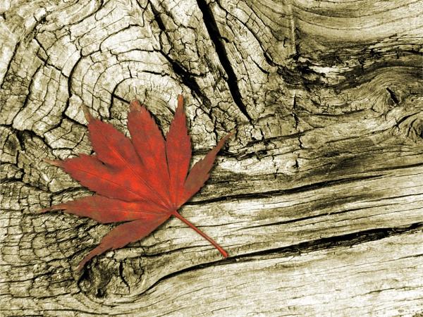 Acer Leaf by freds