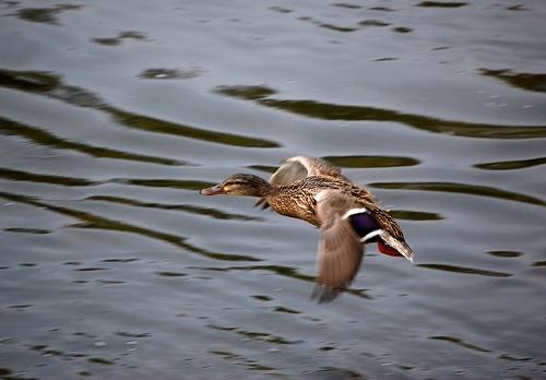 Flight Of The Mallard by kevster