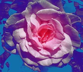 Rose by adrianj