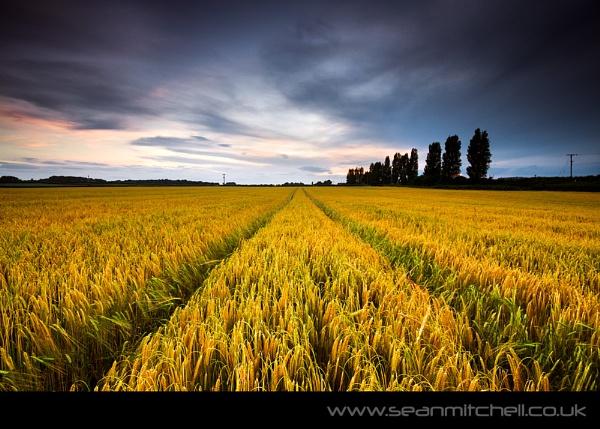 Through the Barley by wamp
