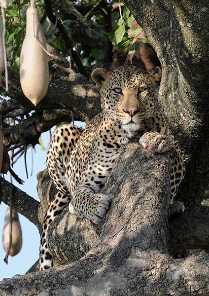 Leopard in Sausage Tree by ianhooker