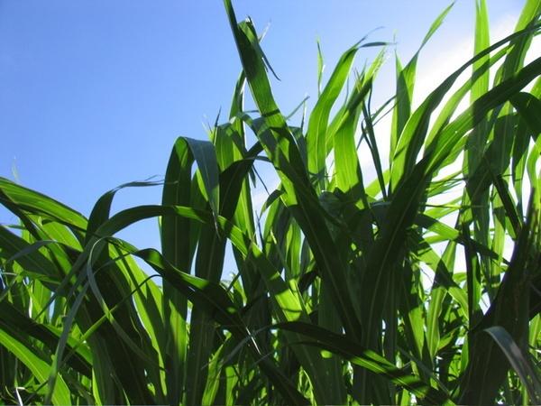 Children of the Corn by dreamflower