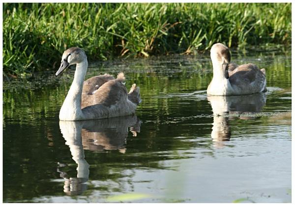 Swans by Leightonhs