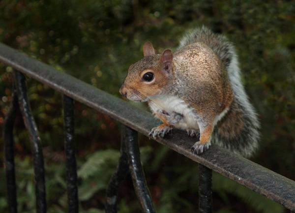 squirrel by kpnutt