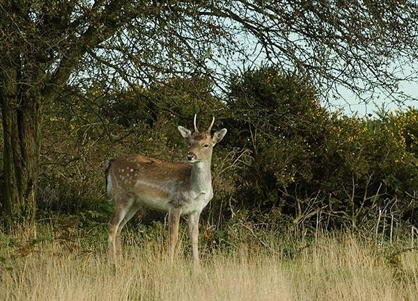 Roe deer by joetcat
