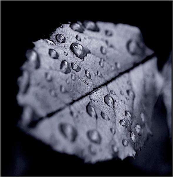 Rose leaf by mhpjw