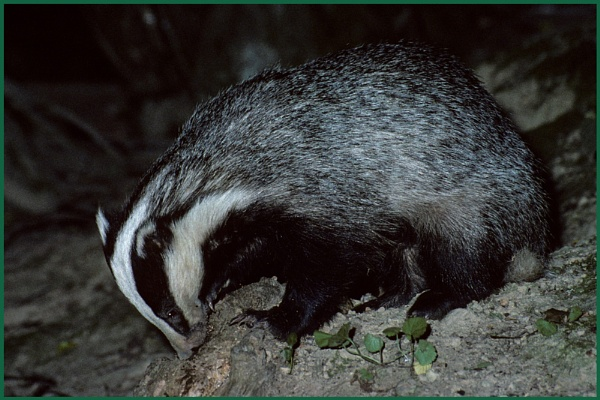 Badger Foraging 03. by Badgerfred