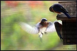 Sunday Blue Birds