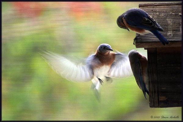 Sunday Blue Birds by dawnmichelle