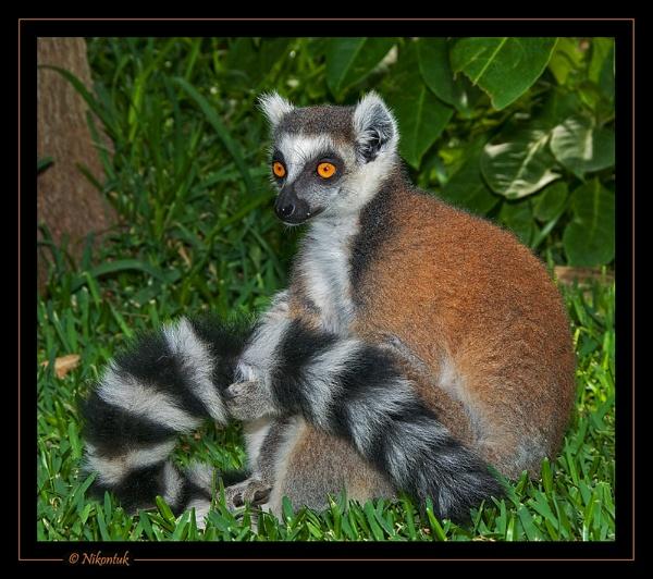 Lemur 2 by FeatherFriend