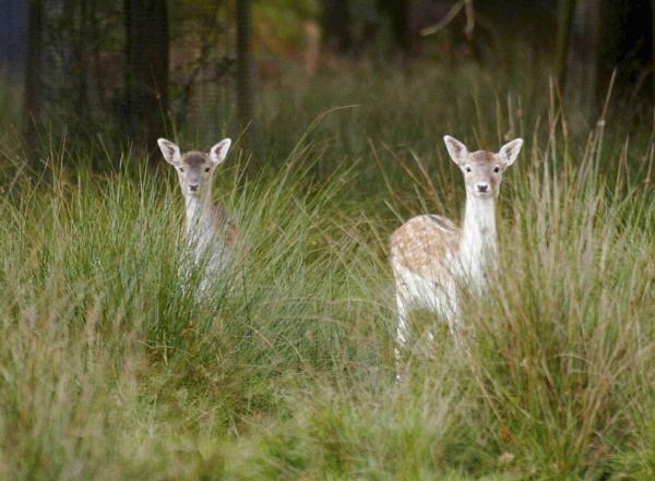 deer by xstevex