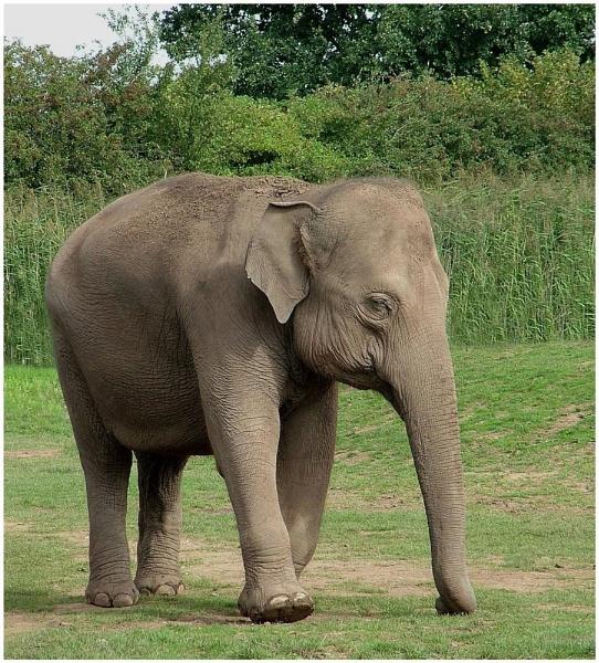 elephant by ducatifogarty