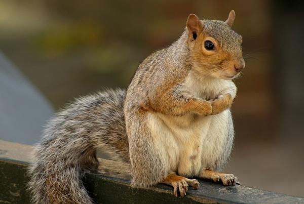 Squirrel the model I by piotro