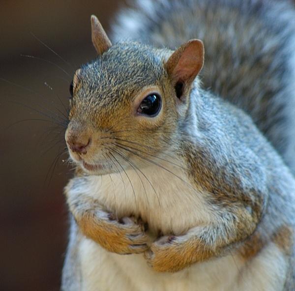 Squirrel the model II by piotro