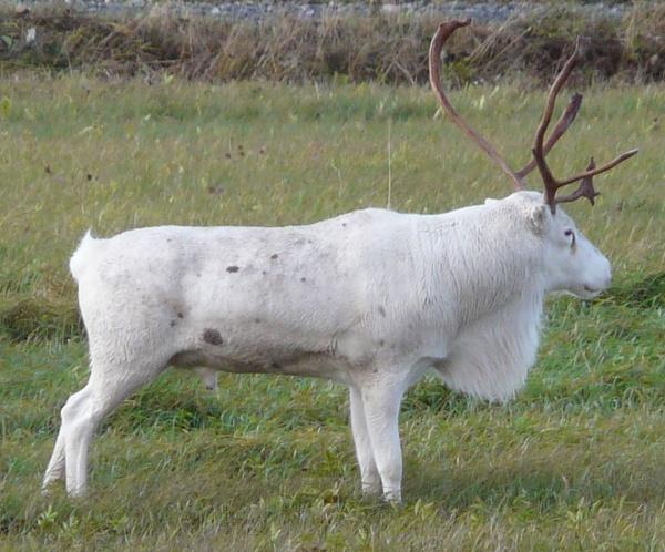 Reindeer surprise by benteb