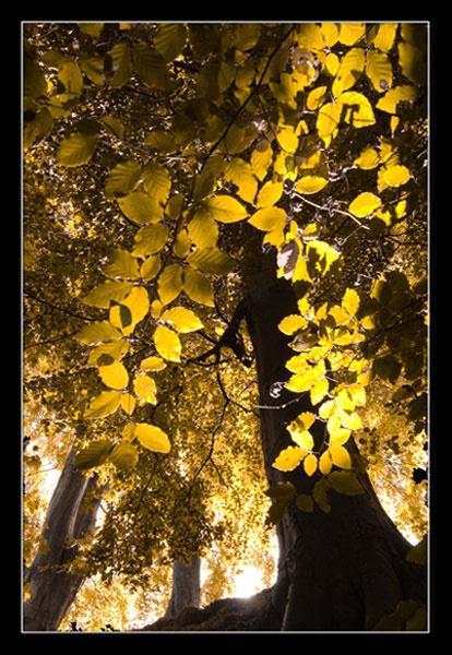 Autumn Beech by Mstphoto