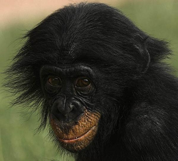 Just a Chimp! by Karrol