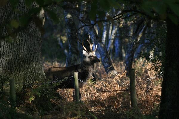 Deer at Arne forest by Geofferz