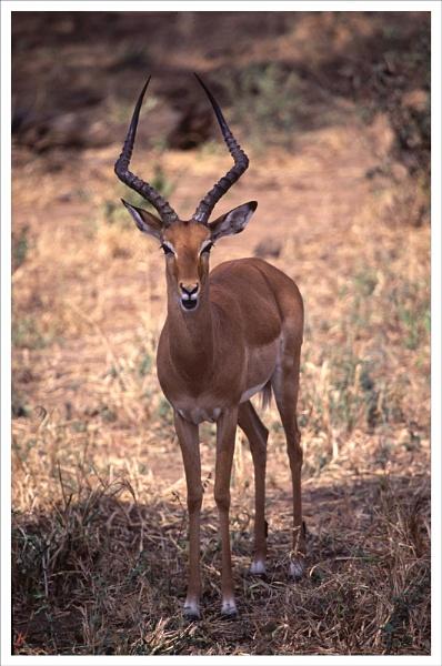 Impala. by rontear