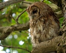 Tawny Owl by bppowell