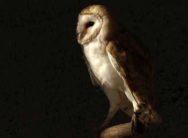 Barn Owl #2 by bppowell