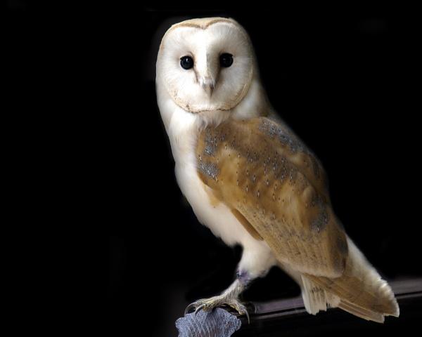 Barn Owl - Dylan by bppowell