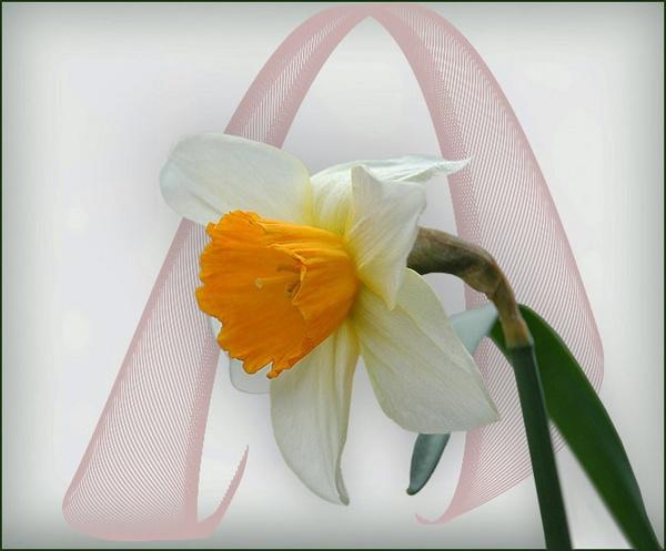 Daffodil by Leo