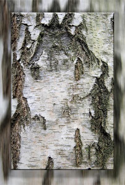 Birch Texture by GeorgeLedger