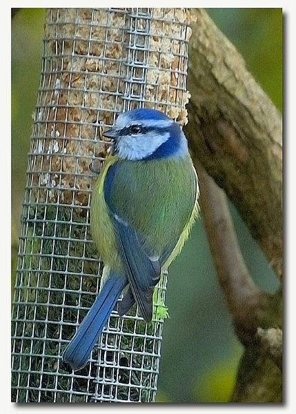 blue tit by patman