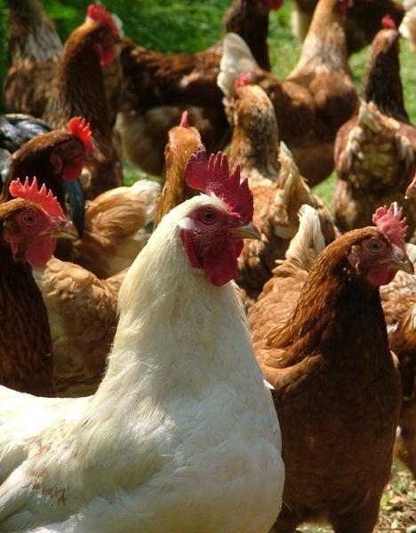Chickens V Turkey? by MandyS