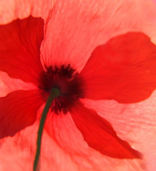 Poppy by mhpjw