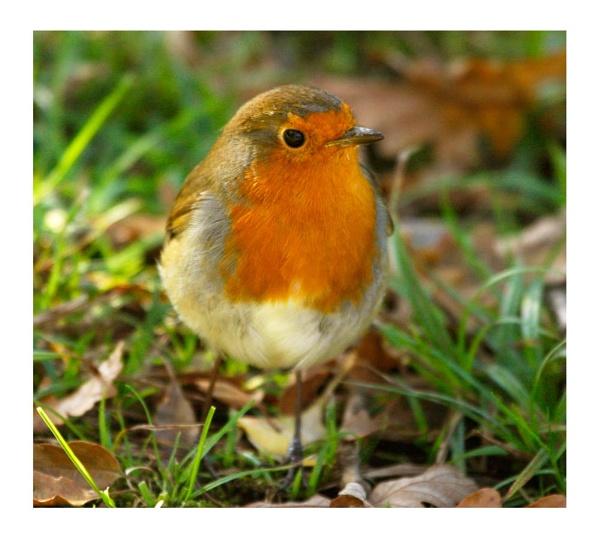 Cheeky Robin... by Lois96