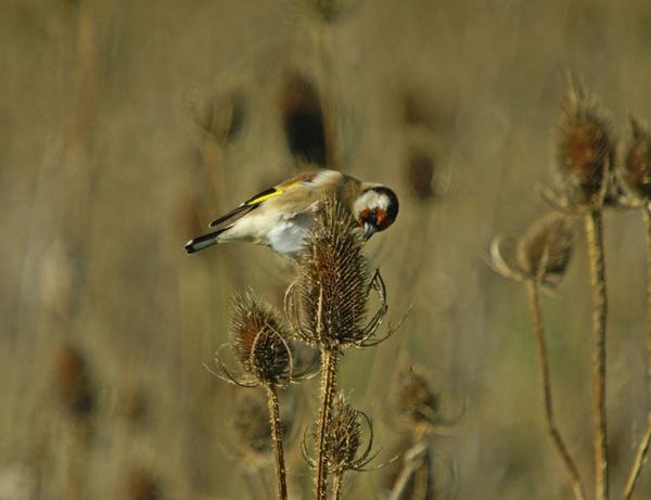 Goldfinch on Teazels by bittern1