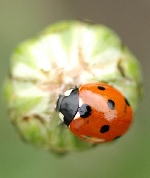 Ladybird \'58\' plate by pixclix