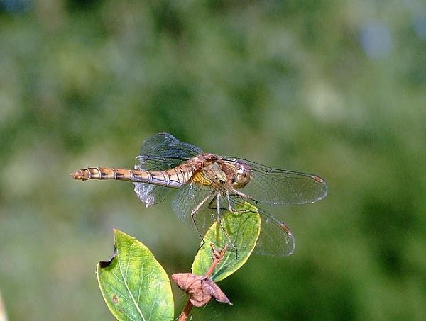 Dragonfly by johnlwadd