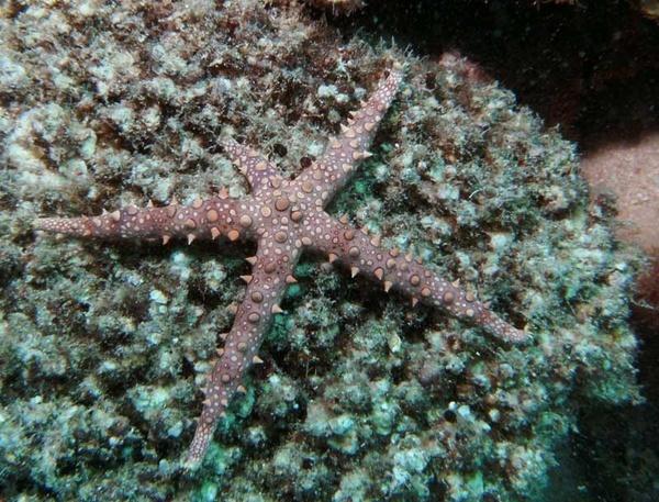 brittle star by ianofarabiaz