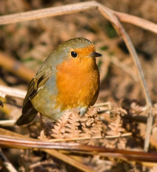 Robin by adybazz