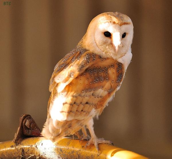 Barn Owl in grain store by smitbar