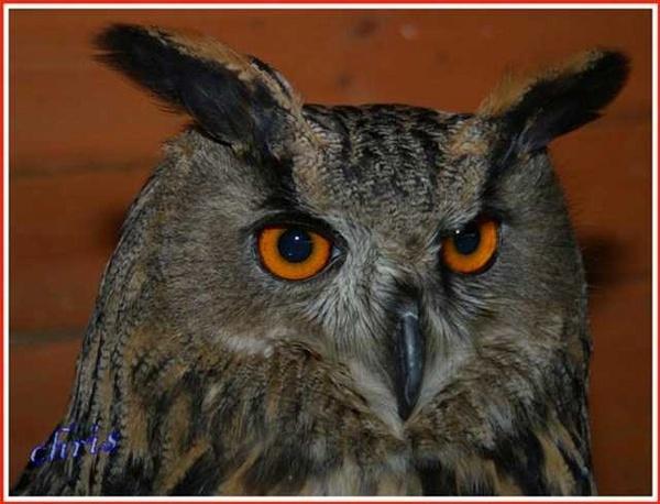 owl by chrisg7syt