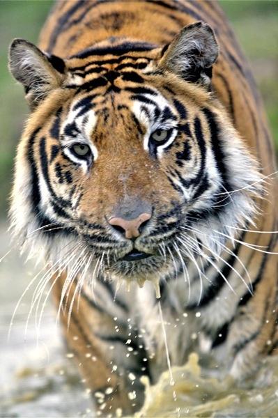 Running Tiger by wildatheart