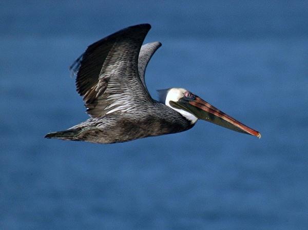 Brown Pelican by StuartDavie