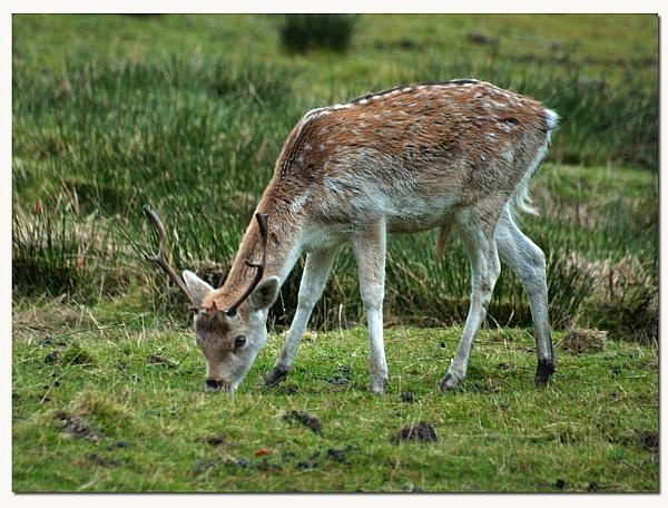 fallow deer by patman