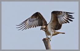 Osprey ...